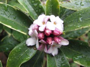Daphne odora 'Aureo-marginata' 2010-03-11