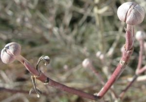 Flowering Dogwood 1-27-2011