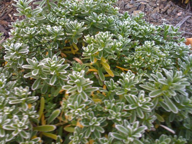 Flowers under freeze pbmgarden for Iberis sempervirens