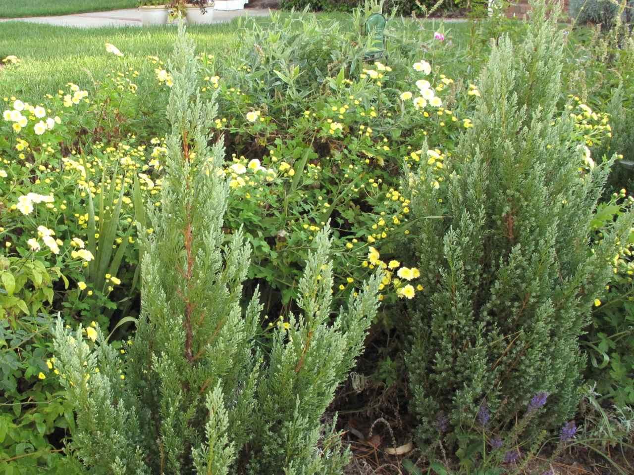 Blue point juniper pbmgarden chrysanthemums just before ten reviewsmspy