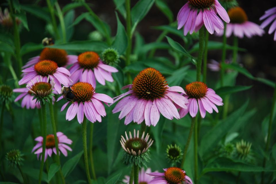 echinacea purpurea purple coneflower 3 pbmgarden. Black Bedroom Furniture Sets. Home Design Ideas