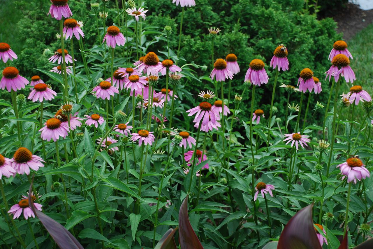 echinacea purpurea purple coneflower 4 pbmgarden. Black Bedroom Furniture Sets. Home Design Ideas