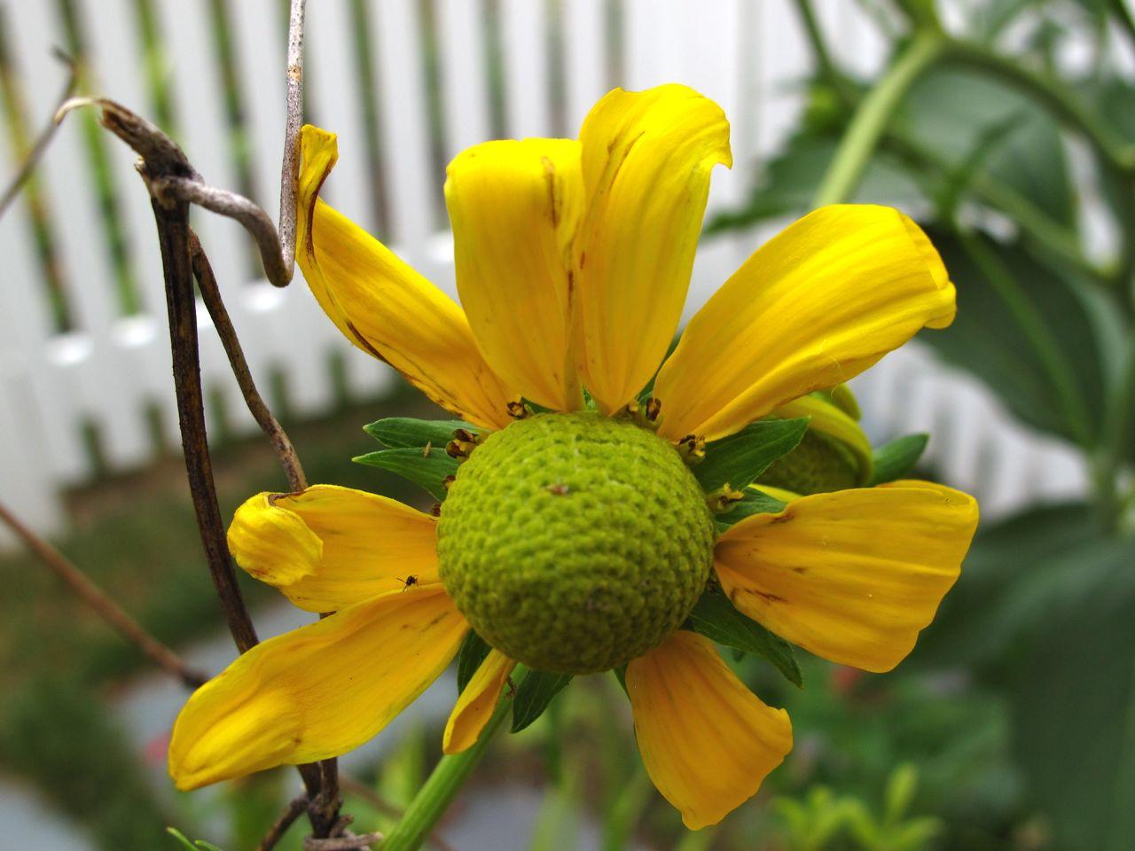 Seeing green irish eyes pbmgarden rudbeckia mightylinksfo