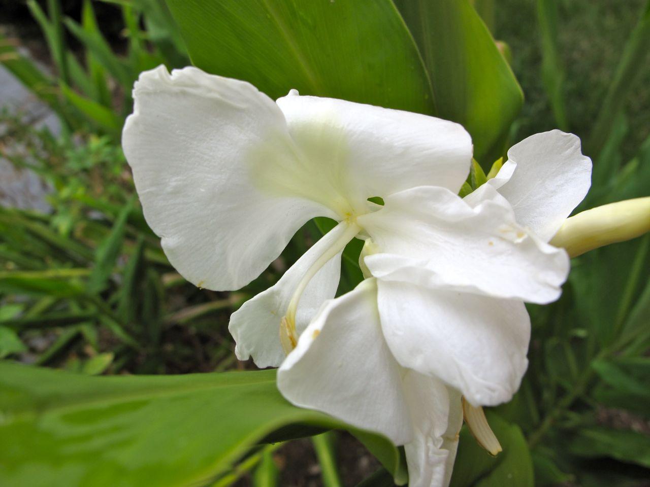 White Ginger Lily Inflorescence Pbmgarden