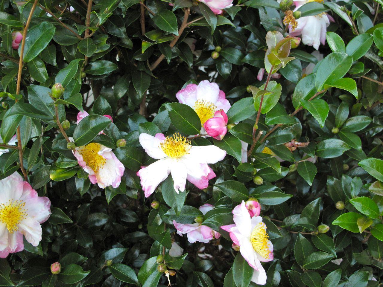 October 2012 pbmgarden for Camellia sasanqua