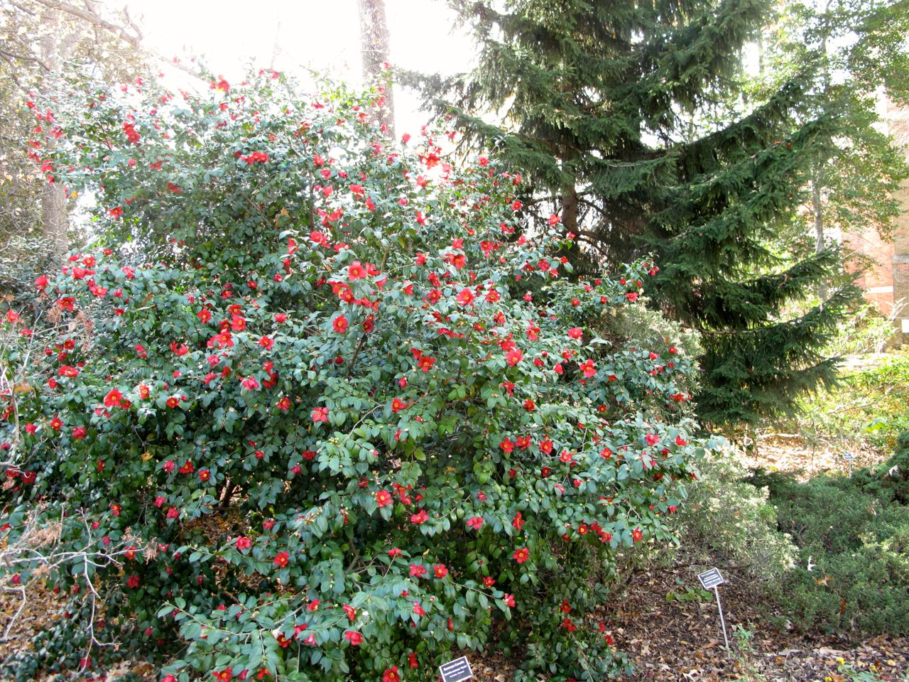 Sasanquas, dwarf camellias add color to early-winter landscapes ...