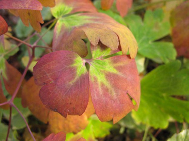Aquilegia canadensis (Eastern red columbine)