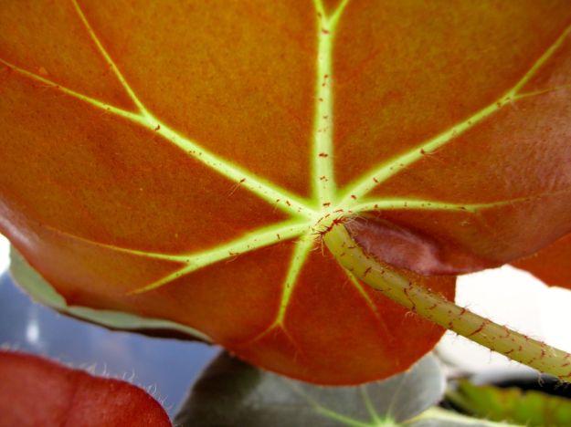Begonia 'Erythrophylla' (Beefsteak Begonia)-starburst pattern formed by veins in the leaf