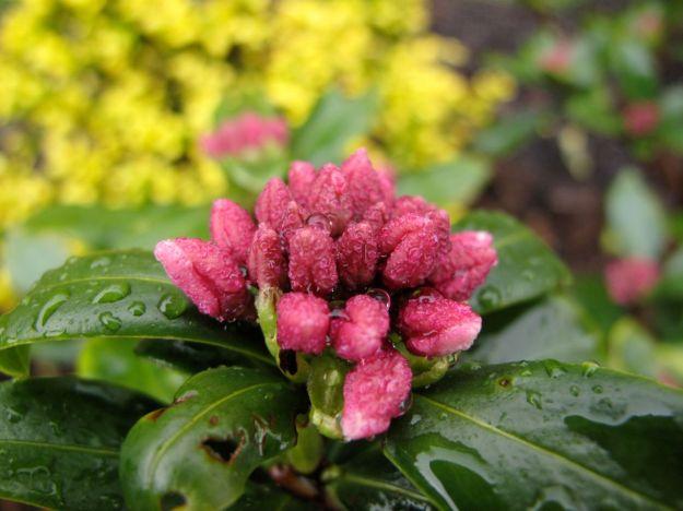 Daphne odora 'Aureomarginata' (Winter daphne)-5