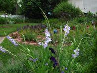 Gladiolus June 11, 2012