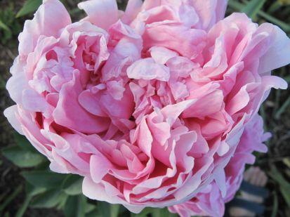 Peony Paeonia 'Pink Parfait' May 11, 2012