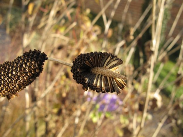 Seed heads of Rudbeckia hirta 'Irish Eyes'