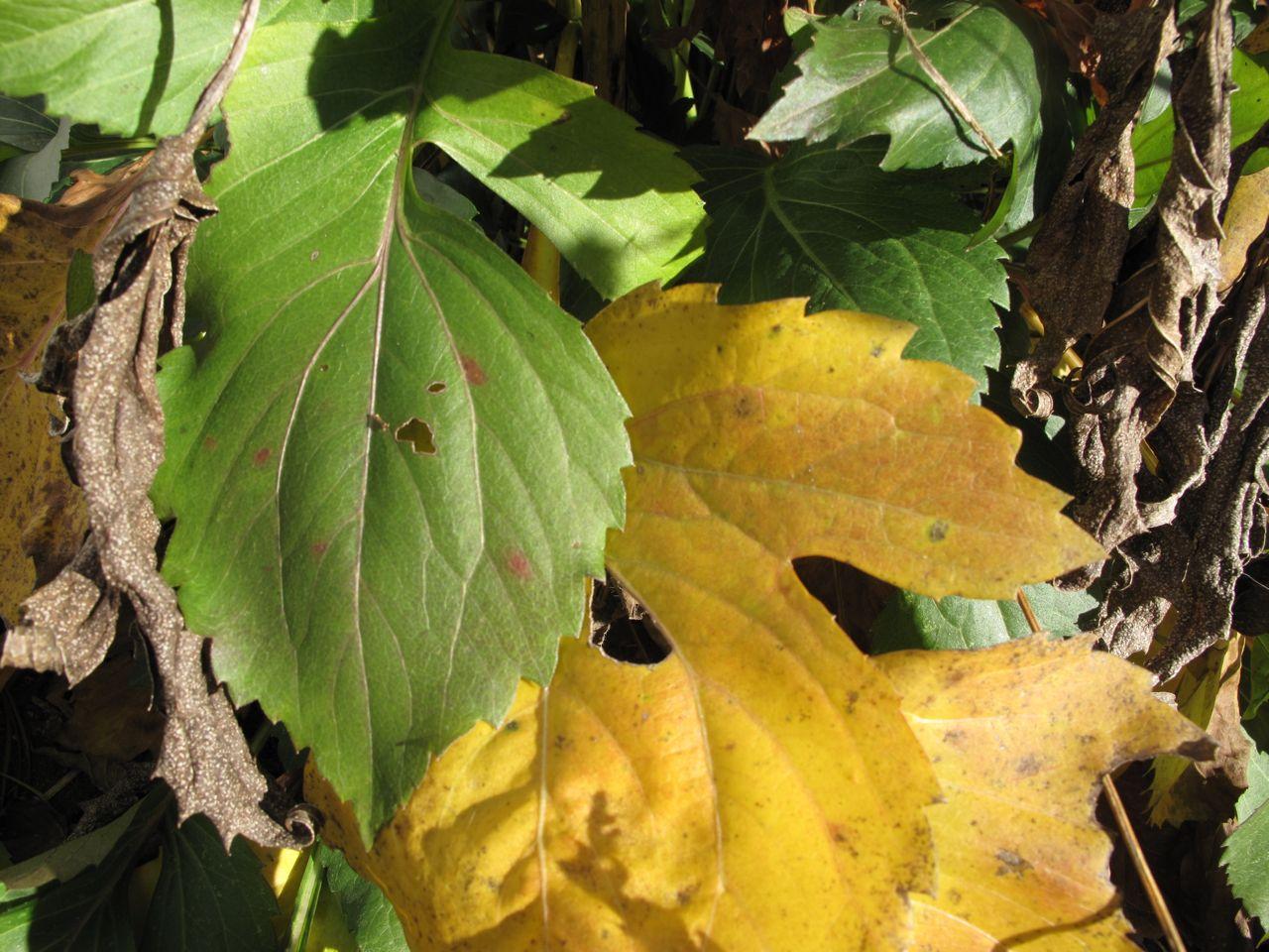 Leaves of Rudbeckia hirta 'Irish Eyes'