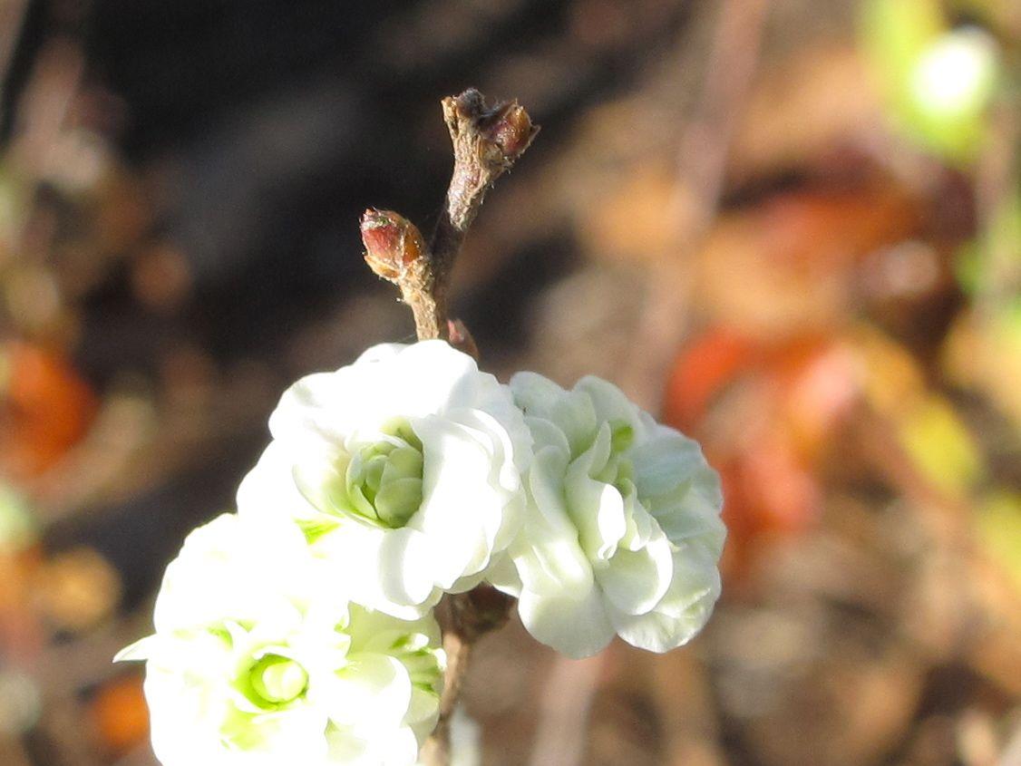 Spiraea Blossoms