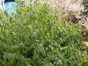 Abutilon megapotamicum 'Little Imp' (flowering maple)