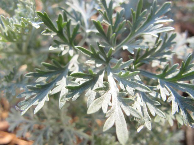 Artemisia 'Powis Castle' (Wormwood)
