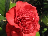 Camellia japonica 'Professor Charles S. Sargent' (Japanese camellia)