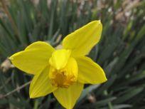 Daffodil-3