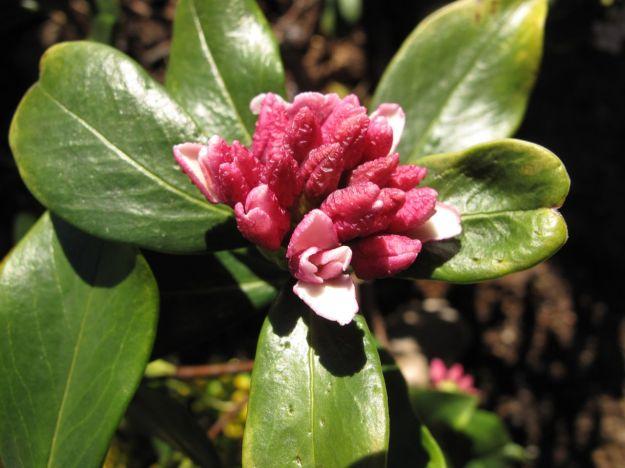 Daphne odora 'Aureomarginata' (Winter daphne)-4