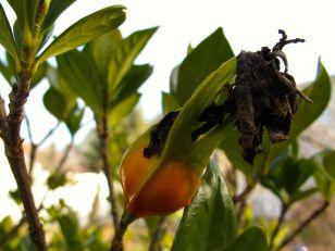 Hip (Fruit) of Gardenia jasminoides 'Chuck Hayes'