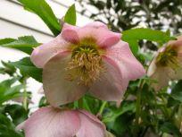 Helleborus orientalis (Lenten rose)-2