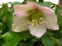 Helleborus orientalis (Lenten rose)-3