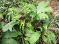 Helleborus x hybridus (dark pink shades)