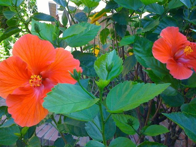 Hibiscus, Ft. Myers, Florida