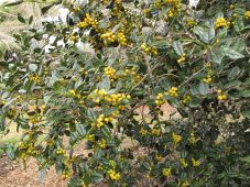 Ilex cornuta 'D'Or' (yellow-berry Chinese holly)
