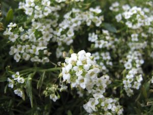 Lobularia hybrid 'Snow Princess' (Sweet Alyssum)