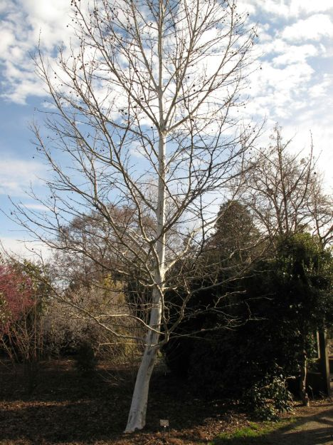 Platanus x hispanica 'Suttneri' (variegated London planetree)