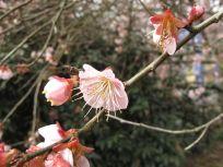 Prunus mume 'Trumpet' (pink Japanes flowering apricot)