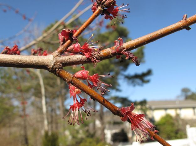 Acer rubrum (Red Maple)