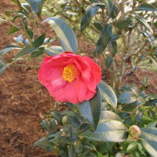 Camellia x 'Coral Delight' Synonym: Camellia japonica x Camellia saluenensis