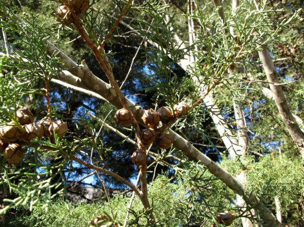 Seed pods-'Carolina Sapphire' Arizona Cypress