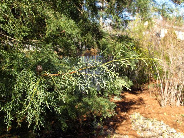 'Carolina Sapphire' Arizona Cypress