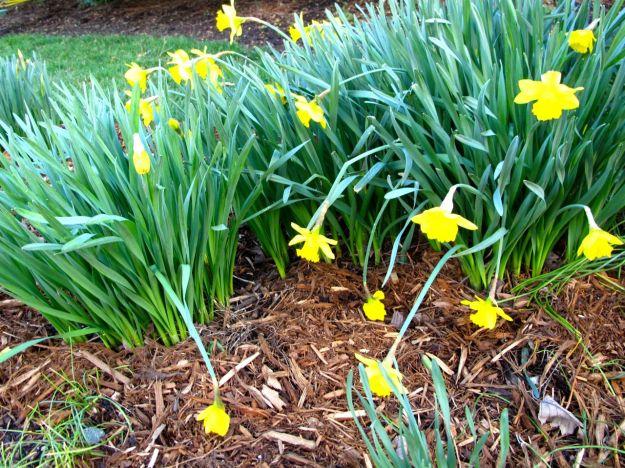 Daffodil Patch