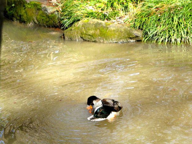 Mallard Duck, Duke Gardens
