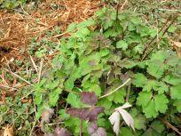 Aquilegia canadensis (Eastern red columbine) and Monarda didyma (Scarlet Beebalm)