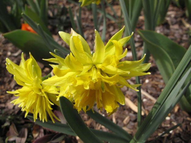 Daffodil-Duke Gardens