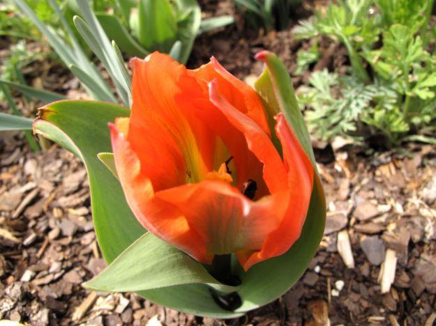 Tulip-Duke Gardens