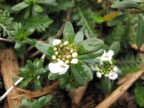 Iberis Sempervirens (Candytuft)