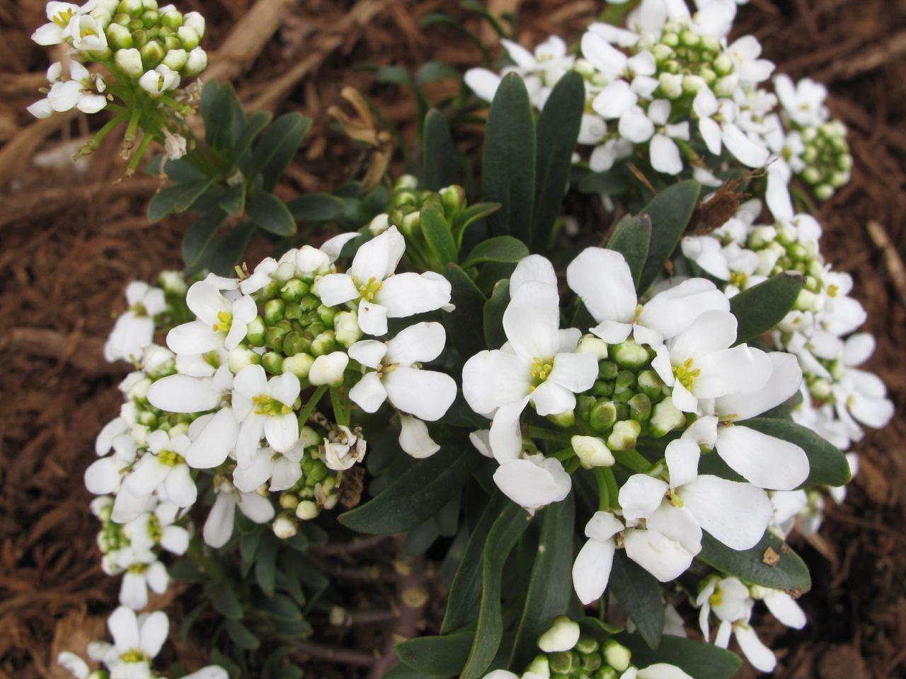 Early spring plants pbmgarden for Iberis sempervirens