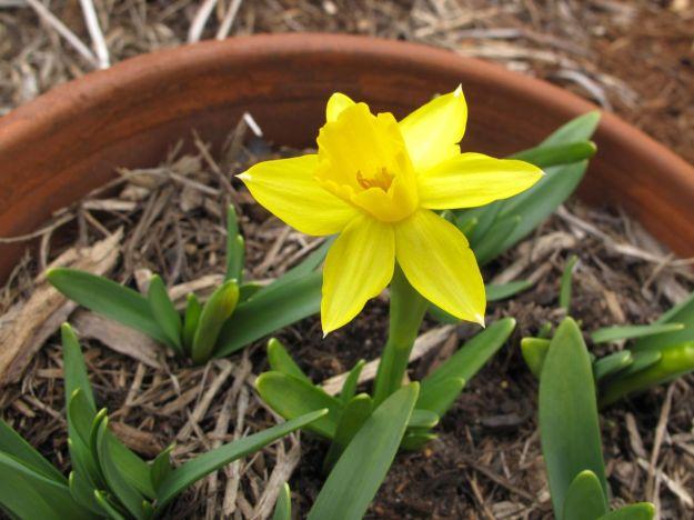 Narcissus 'Tete-a-Tete' (Tete-a-Tete Daffodil)