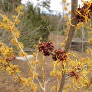 Witch-hazel-Duke Gardens