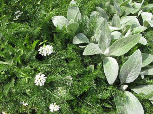 Achillea, Candytuft and Lamb's ear