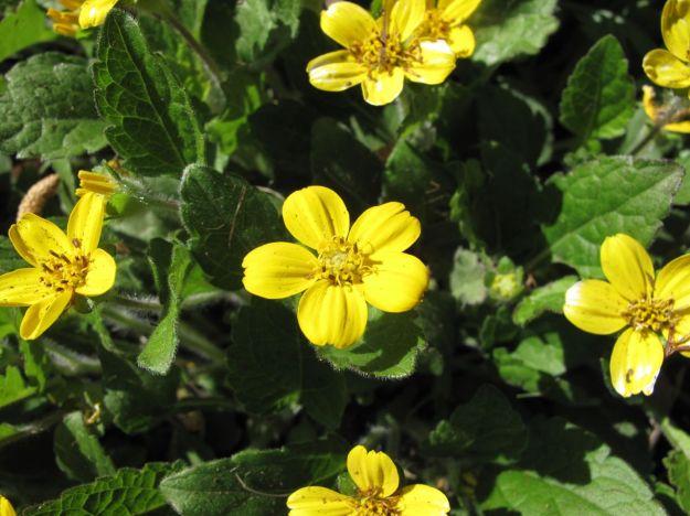 Chrysogonum virginianum (Green and Gold)