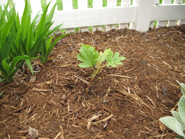 Hydrangea quercifolia 'Ruby Slippers'  April 16 2013