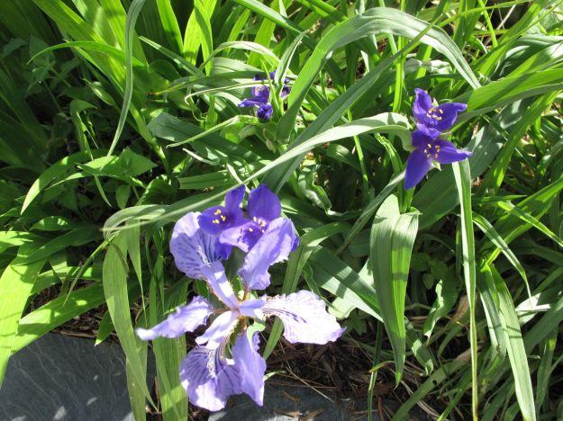 Iris and Tradescantia (Spiderwort)
