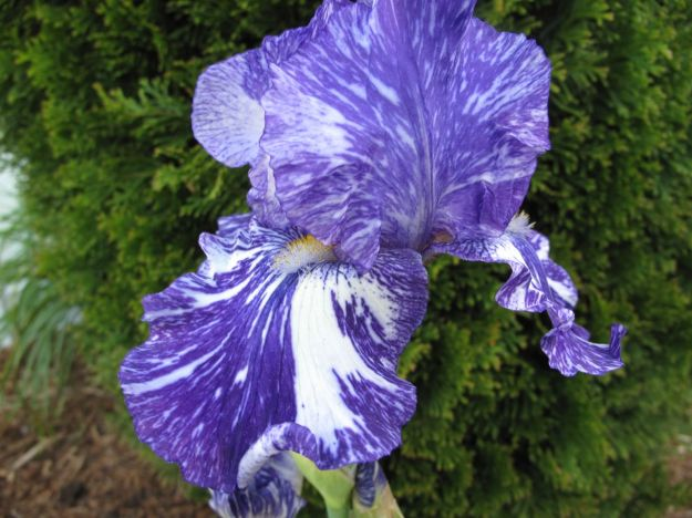 Iris ger. 'Batik'